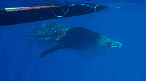 Whaleshark swimming under Boaty McBoatface